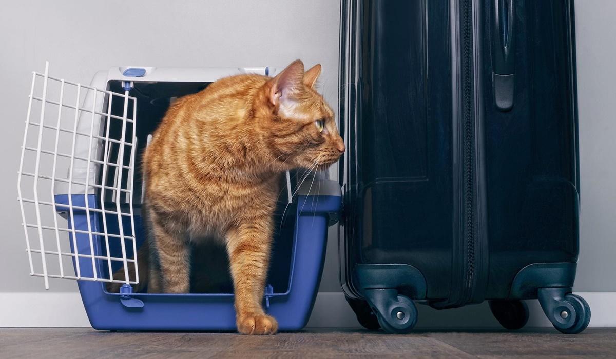 gatto arancione nel trasportino