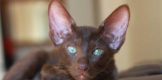 cuccioli di Gatto Orientale