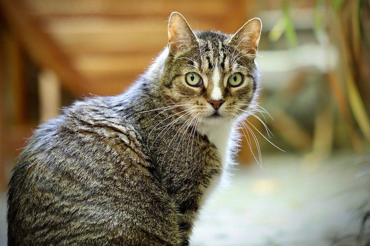 gatto europeo dagli occhi grandi