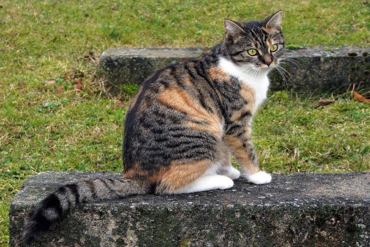 gatto europeo pelo nero e arancio