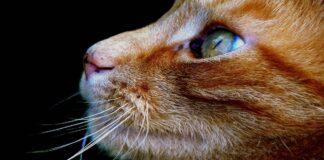 felino europeo colori intensi