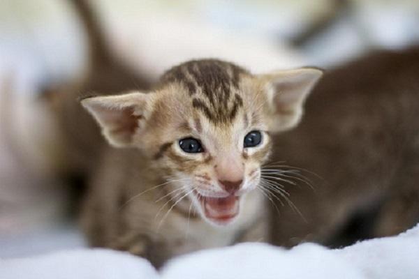 gattino orientale con bocca aperta