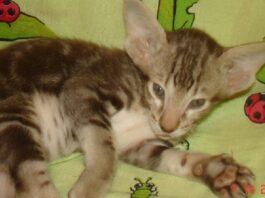 gattino di razza orientale