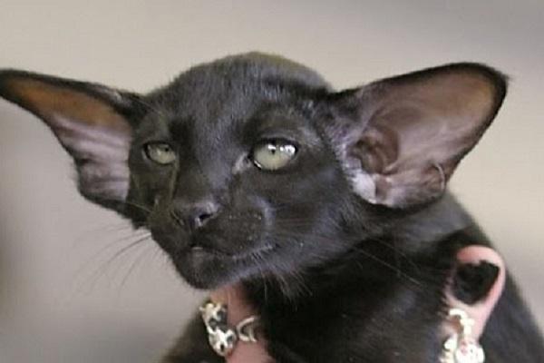 gattino orientale nero