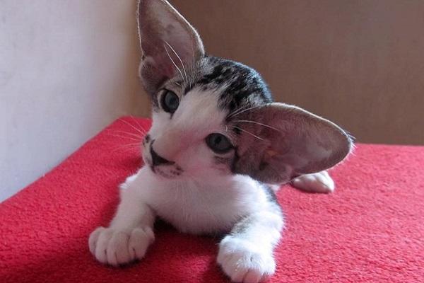 gattino bicolore di razza orientale