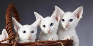 tre gattini bianchi in un cesto