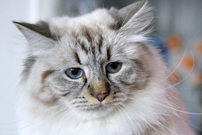 primo piano di gatto siberiano