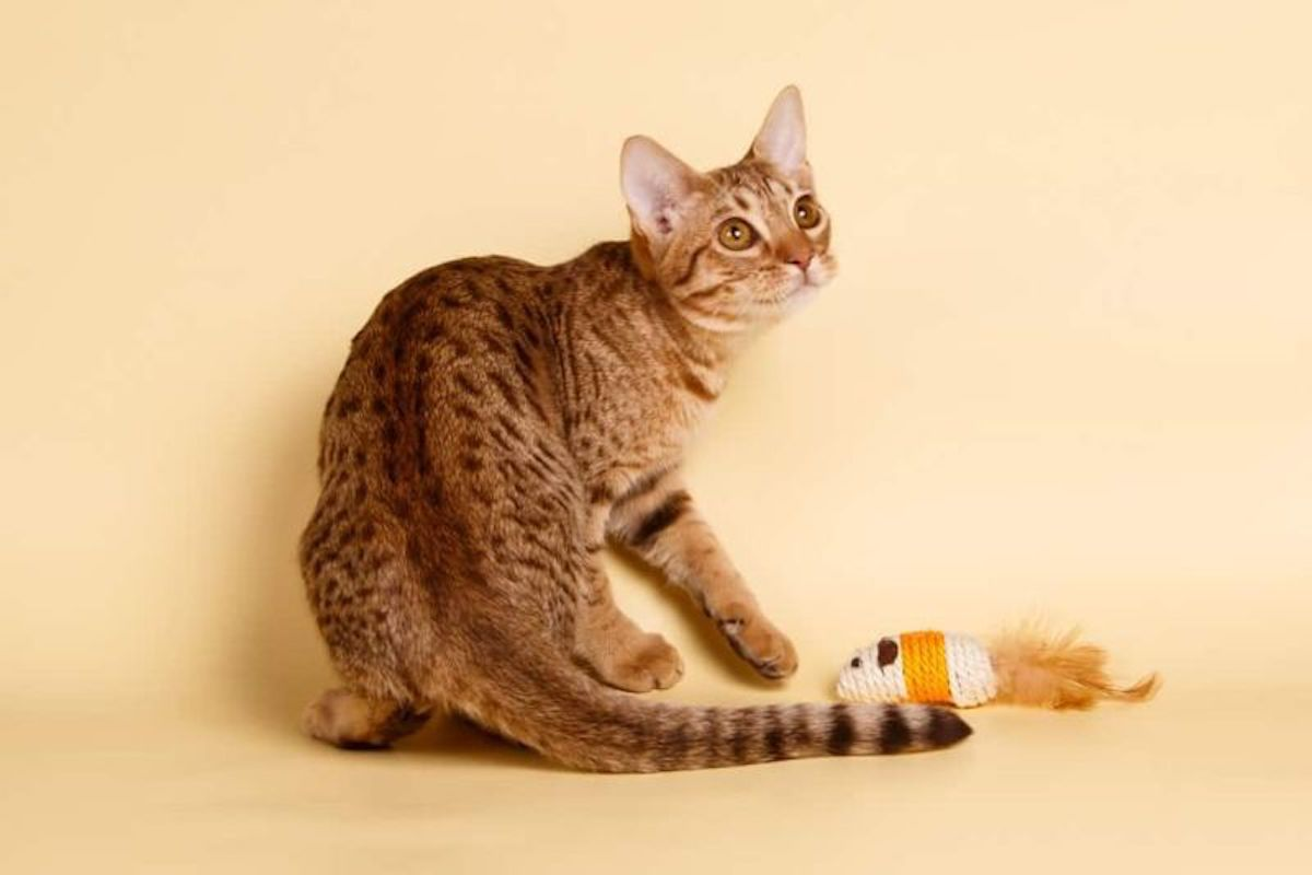 gattino concentrato a giocare