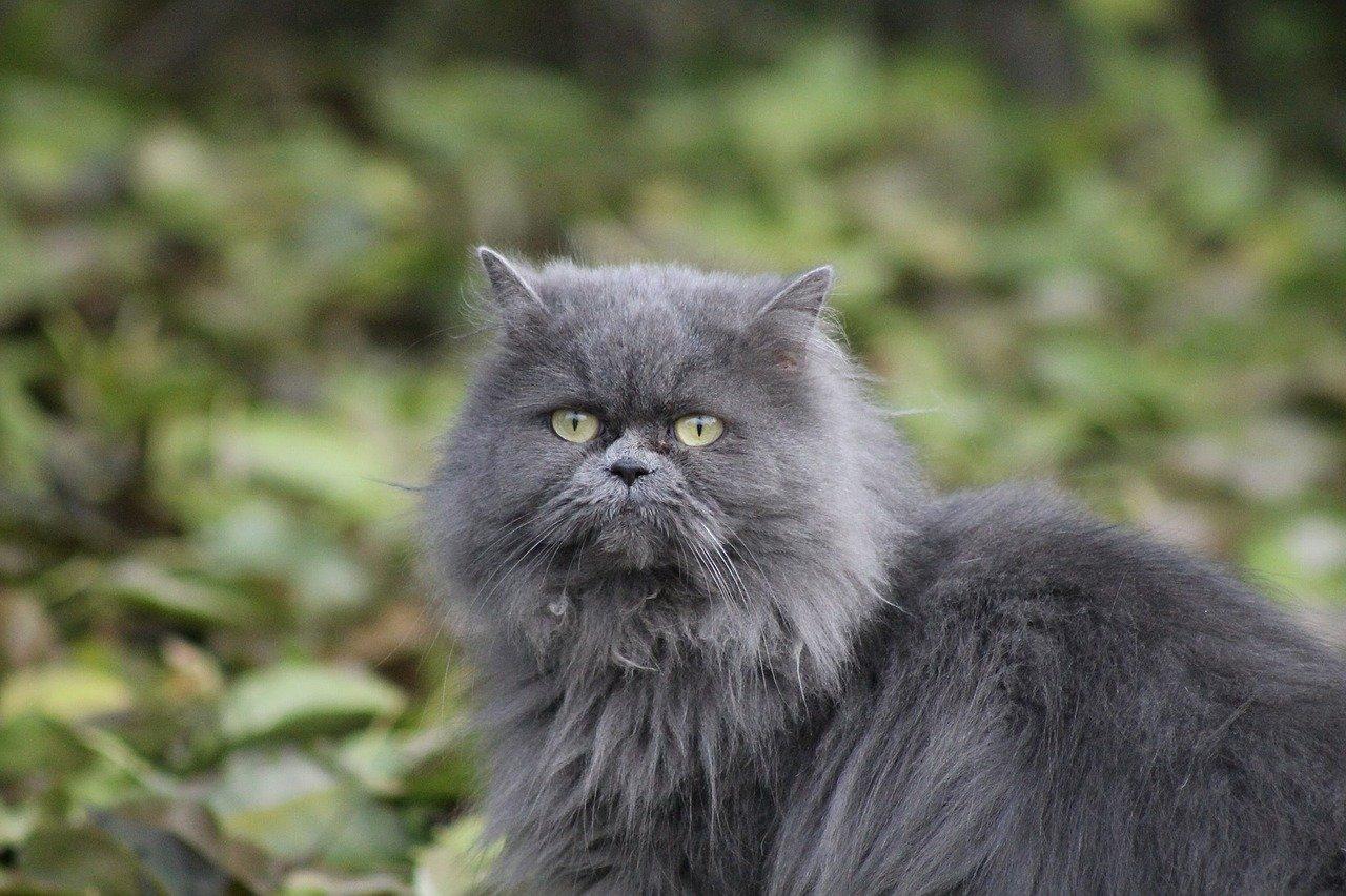 gatto colore grigio