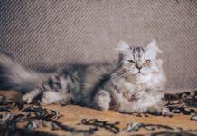gatto persiano colorato