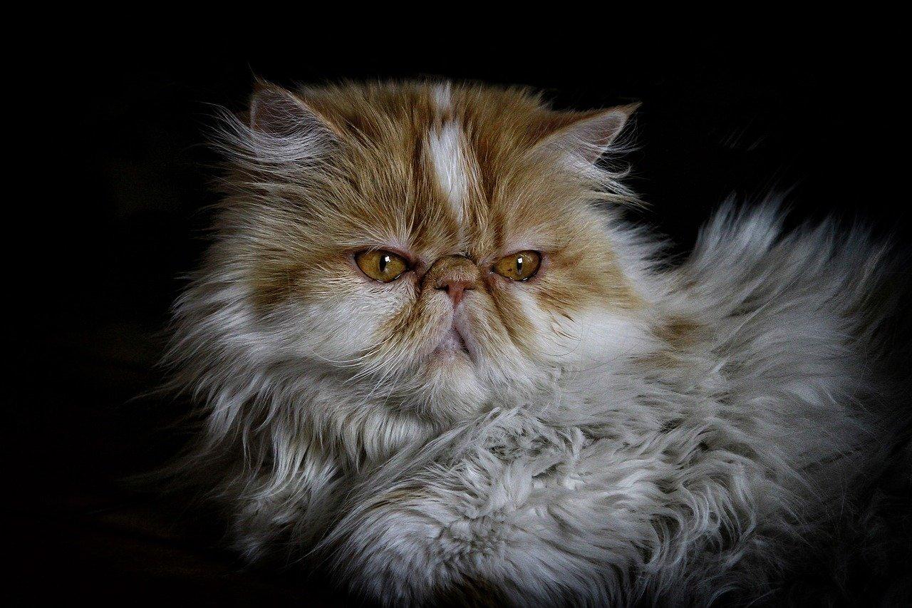 gatto persiano chiaro