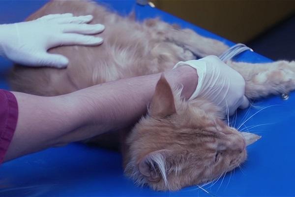 gatto disteso dal veterinario