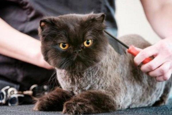 tosatura gatto