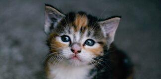 il gattino vuole più attenzioni