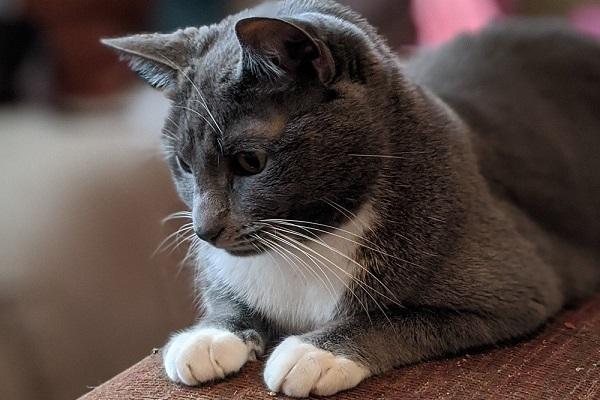 gatto attento