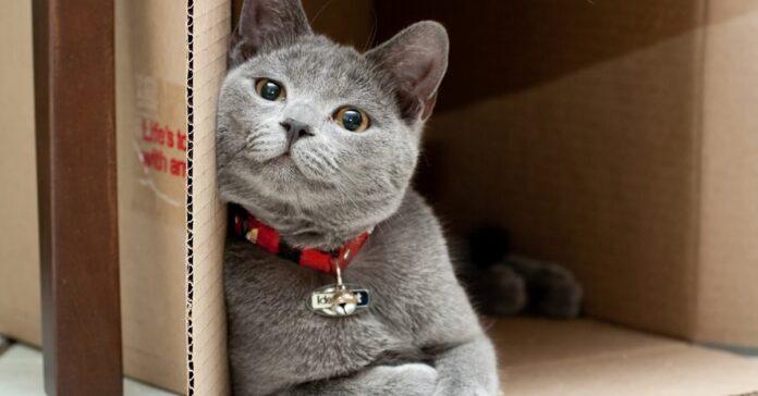 gatto grigio dentro una scatola