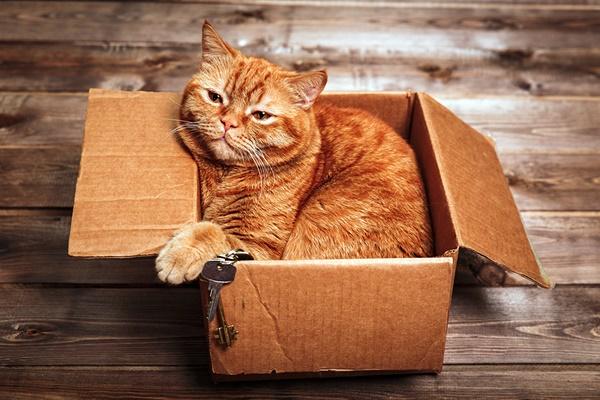 gatto arancione persiano dentro una scatola