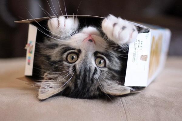gattino che gioca con una scatola