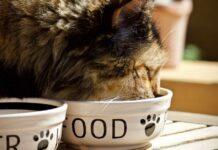gatto che sta mangiando