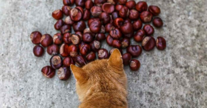 gatto e castagne