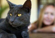 gatto grigio scuro