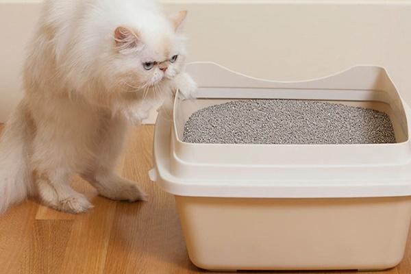 gatto persiano di colore bianco