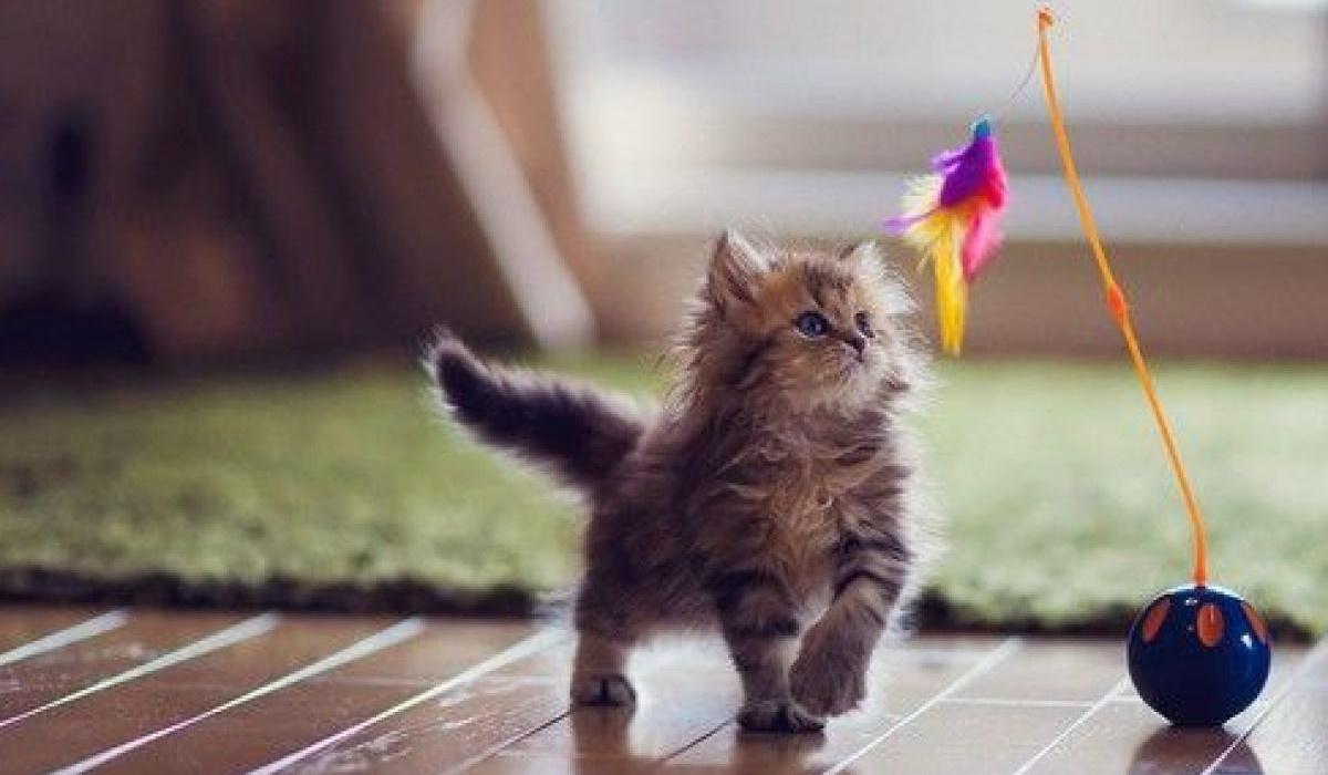 gattino gioca con una piuma