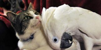 pappagallo accarezza gattino