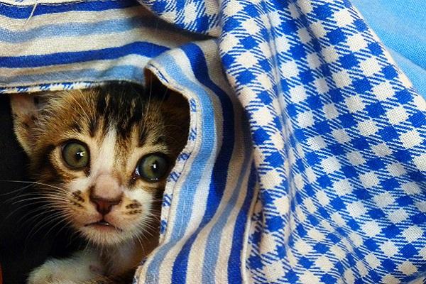 gattino domestico dietro a una coperta