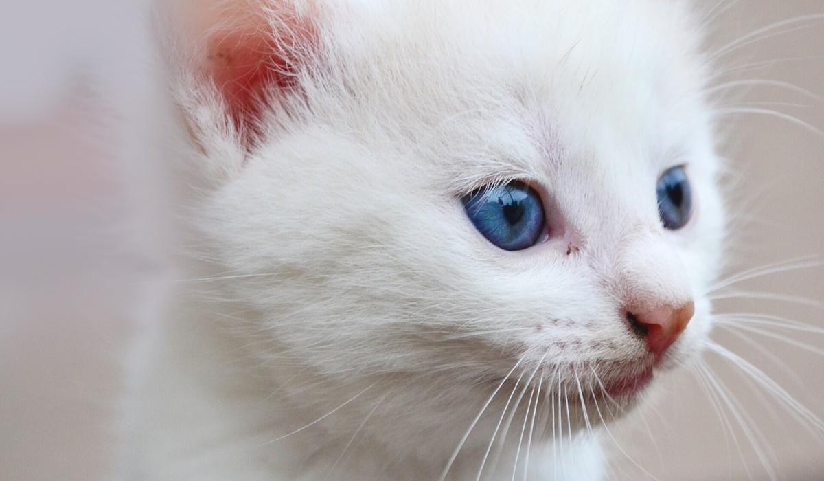 gattino bianco con gli occhi blu