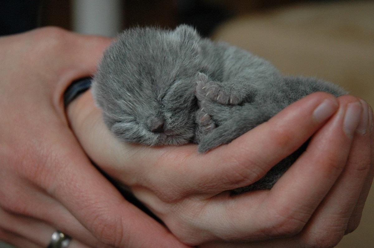 gattino grigio tenuto in mano