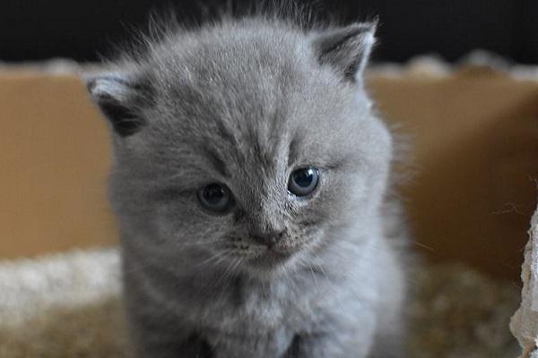 gattino grigio dentro lettiera