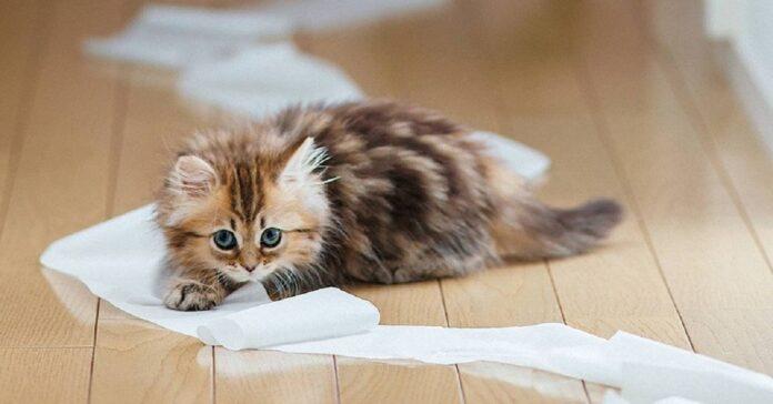 gattino a pelo lungo sul pavimento