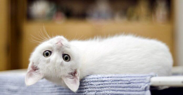 gattino bianco disteso