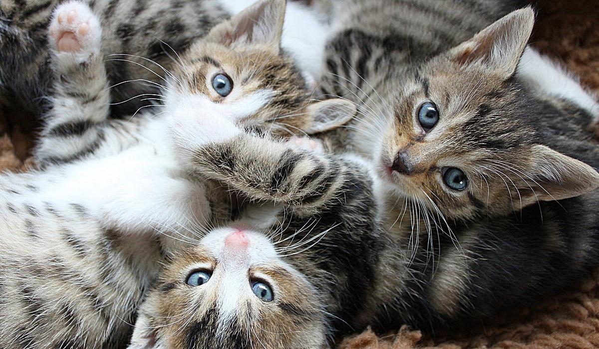 tre cuccioli di gatto