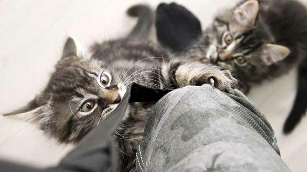 gattini che mordono le gambe del padrone
