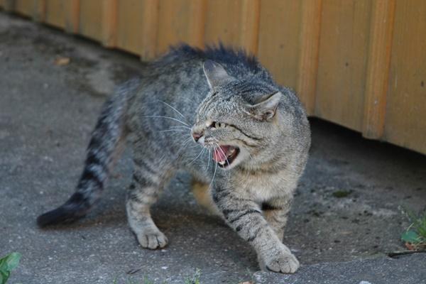 gatto randagio aggressivo