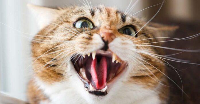 gatto molto arrabbiato