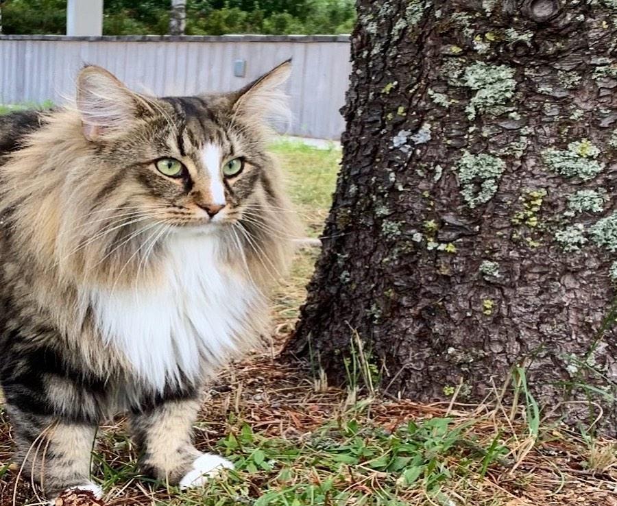 gatto norvegese pelo lungo