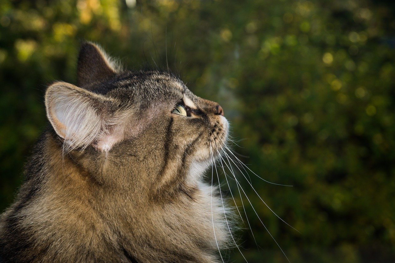 gatto foreste norvegesi musetto dolce