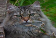 gatto foreste norvegesi sguardo intenso