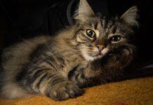 gatto foreste norvegesi si riposa