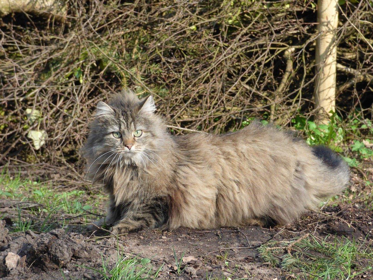 gatto norvegese pelo bellissimo