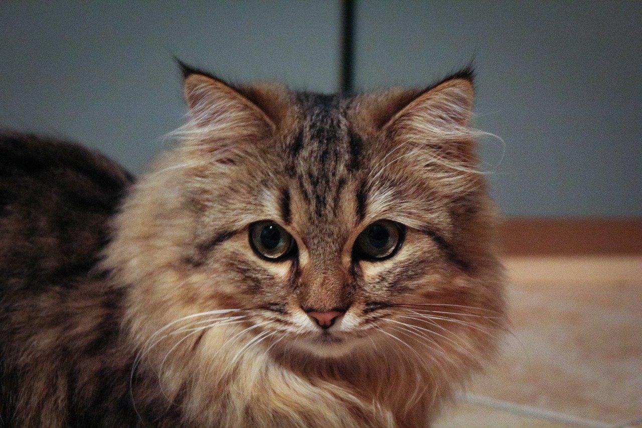 piccolo gatto norvegese