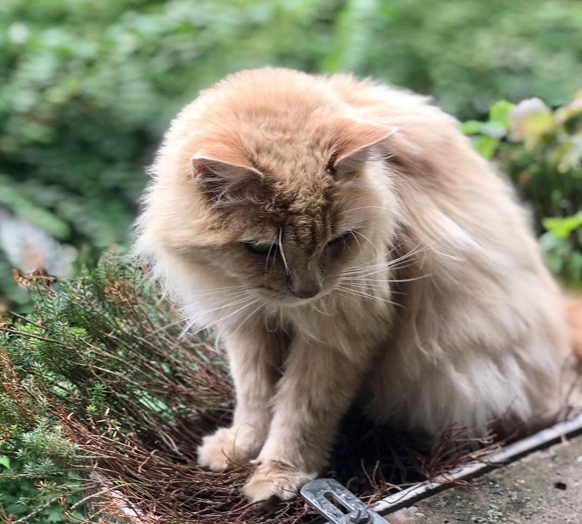 gatto norvegese curioso