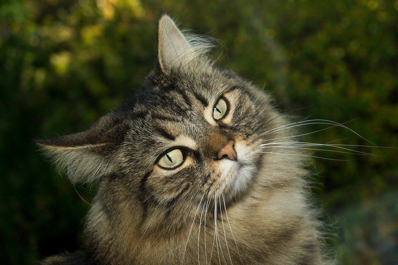 gatto norvegese sguardo intenso