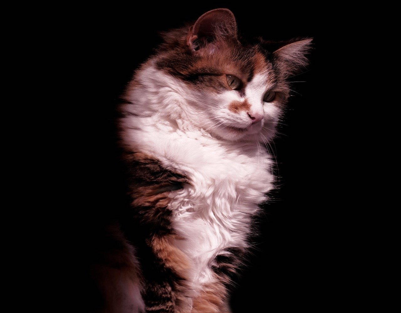 gatto pelo morbido