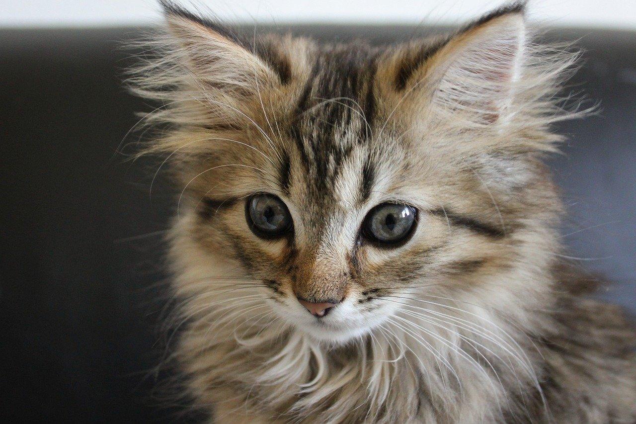 piccolo gatto foreste norvegesi