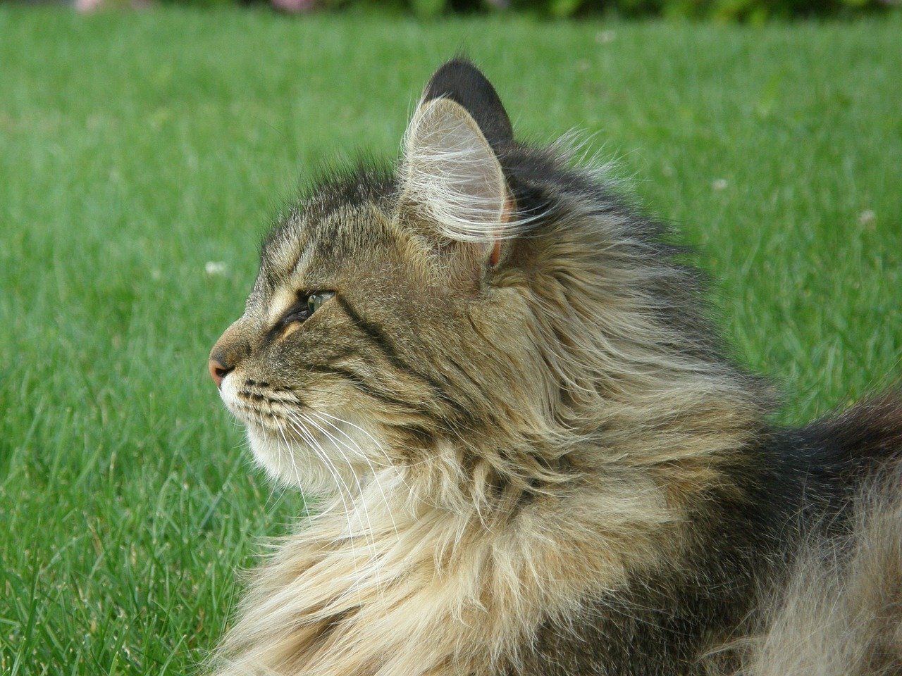 gatto norvegese dolcissimo