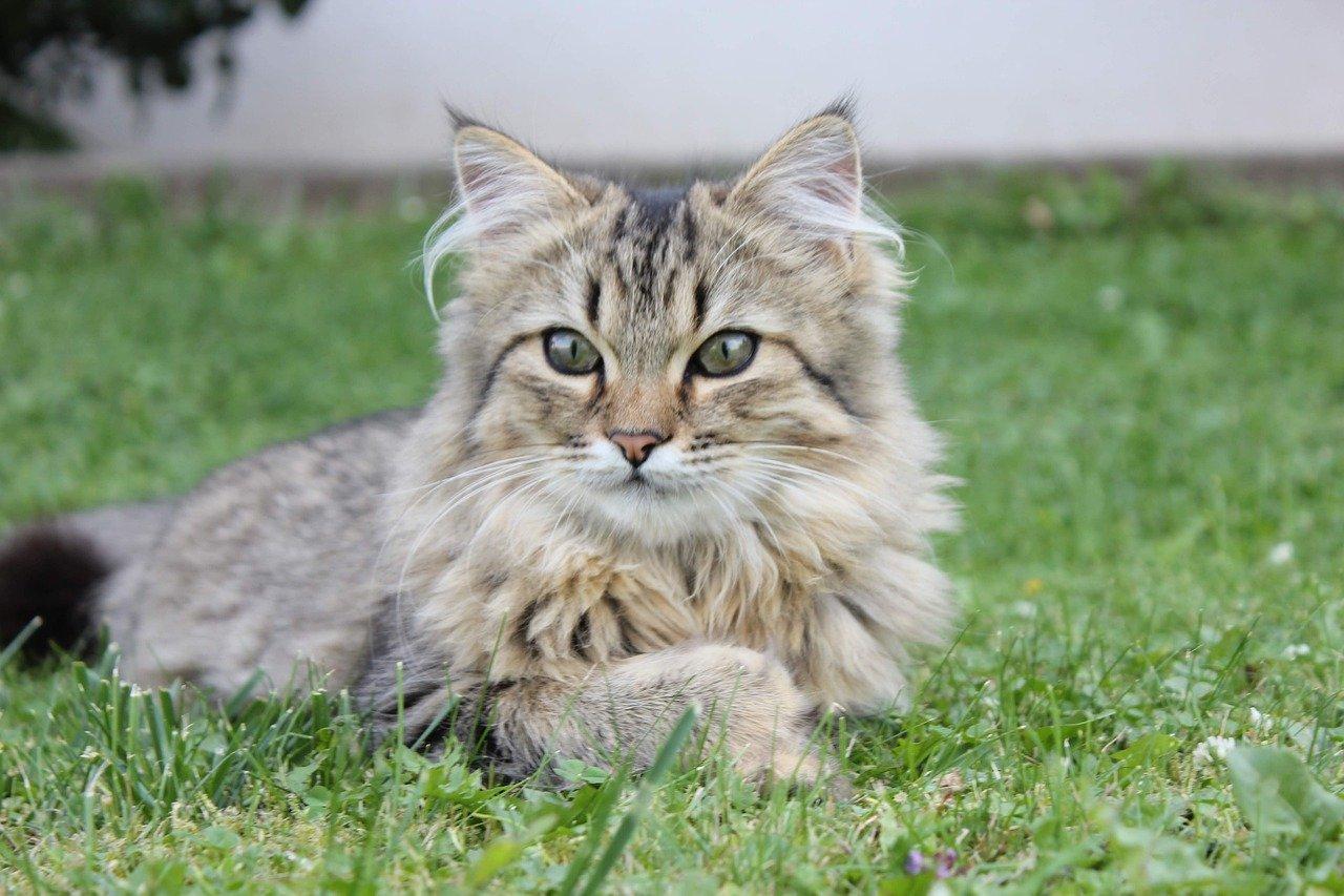 gatto norvegese occhi grandi